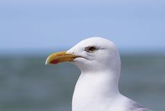 一只大肥胖海鸥今后凝视 免版税库存照片