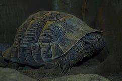 一只大草龟中亚草龟 库存照片