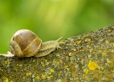 一只大葡萄蜗牛 免版税库存照片