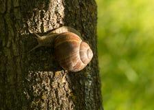 一只大葡萄蜗牛 免版税图库摄影