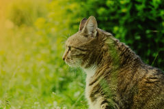 一只大虎斑猫在草坐 配置文件 免版税库存图片