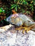 一只大蜥蜴坐岩石 免版税库存照片
