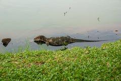 一只大蜥蜴 鬣鳞蜥在水中 免版税库存图片