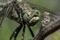 一只大蜻蜓在分支坐 免版税图库摄影