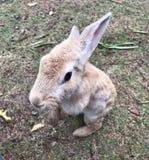 一只大顶头兔子 库存照片