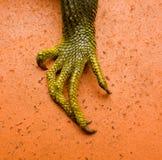 一只大鬣鳞蜥的脚 图库摄影