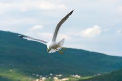 一只大鸥在亚得里亚海上盘旋 免版税库存图片