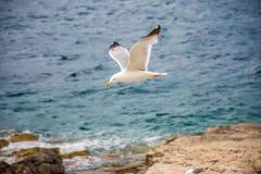 一只大鸥在亚得里亚海上盘旋 库存图片