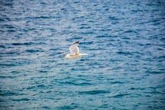 一只大鸥在亚得里亚海上盘旋 图库摄影