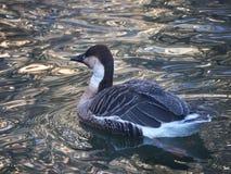 一只大鸭子在冬天湖游泳 在羽毛的雪花 免版税图库摄影