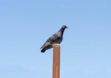 一只大鸽子 免版税图库摄影