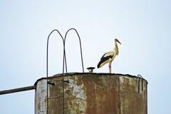 一只大鹳在一个老水塔站立在巢附近 免版税库存图片