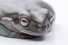 一只大,肥胖澳大利亚雨蛙,坐地面 隔绝反对纯净的白色背景 免版税图库摄影