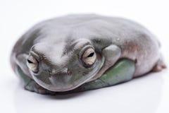 一只大,肥胖澳大利亚雨蛙,坐地面 隔绝反对纯净的白色背景 库存图片