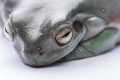 一只大,肥胖澳大利亚雨蛙,坐地面 隔绝反对纯净的白色背景 免版税库存照片