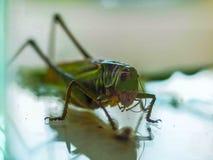 一只大绿色蚂蚱的Macroshot 免版税库存图片