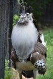 一只大Kori鸨鸟鸟 库存照片
