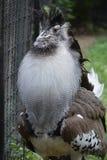 一只大Kori鸨鸟鸟 免版税库存图片