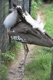 一只大Kori鸨鸟鸟 库存图片