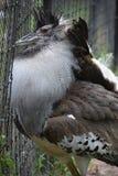 一只大Kori鸨鸟鸟 免版税图库摄影