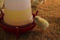一只天的鸡 免版税库存照片