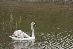 一只天鹅在一个湖在戈佐岛 免版税库存图片