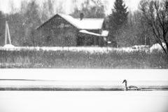 一只天鹅在冷的湖 库存照片