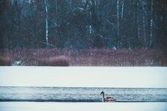 一只天鹅在冷的湖 免版税库存图片