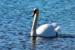 一只天鹅在安大略湖 库存照片