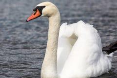 一只天鹅在有面孔的一个湖到左边 库存图片