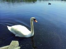 一只天鹅在湖 库存图片