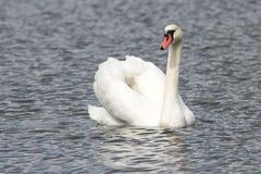 一只天鹅在湖 免版税库存图片