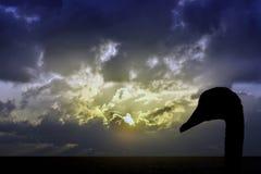 一只天鹅的剪影与日出的在风暴前的海洋在背景中 库存图片