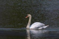 一只天鹅的图象在水的 免版税库存照片