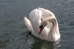 一只天鹅的秀丽在一个舞蹈的在爱期间在湖 免版税库存图片