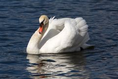 一只天鹅的a Portait在湖 库存图片