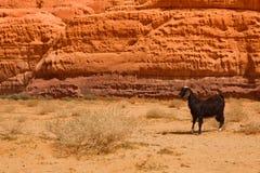 一只失去的山羊在岩石沙漠 库存图片