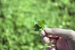 一只女孩手举行的四片叶子三叶草 库存图片