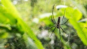 一只女性巨型森林蜘蛛在台北山森林里  免版税库存照片