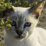 一只好奇小的猫的蓝眼睛 免版税库存图片