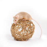 一只好奇小的老鼠 库存图片