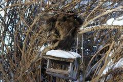 一只好奇挪威森林猫在与鸟房子的一棵树上升了 库存图片