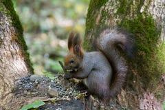 一只好奇灰鼠的画象在树附近的 库存照片