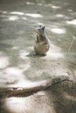 一只好奇灰鼠 库存照片