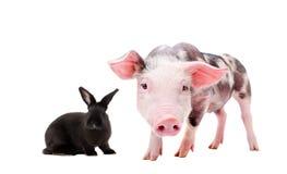 一只好奇猪和黑兔子的画象 库存照片