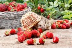 一只好奇猬移交了草莓篮子和在背景的充分的篮子 库存照片