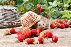 一只好奇猬移交了草莓篮子  免版税库存照片