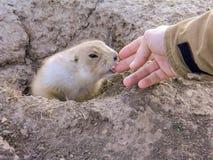 一只好奇草原土拨鼠检查一个感兴趣的动物爱恋的背包徒步旅行者的手 图库摄影