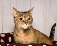 一只好奇虎斑猫的画象在一张棕色全部赌注床上与桃红色圆点 图库摄影