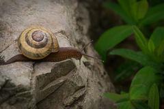 一只好奇蜗牛 免版税图库摄影
